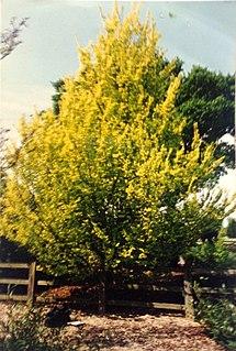 <i>Ulmus minor</i> Dicksonii cultivar of plant