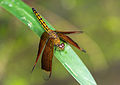 Unidentified dragonfly, Gembira Loka Zoo, Yogyakarta, 2015-03-15.jpg