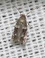 Unidentified moth (30353242418).jpg