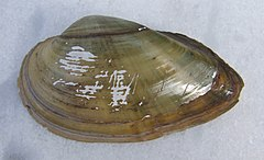 Unio tumidus, outer side of shell.jpg