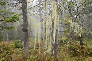 Уснея 300px-Usnea_in_Baikal_reservate