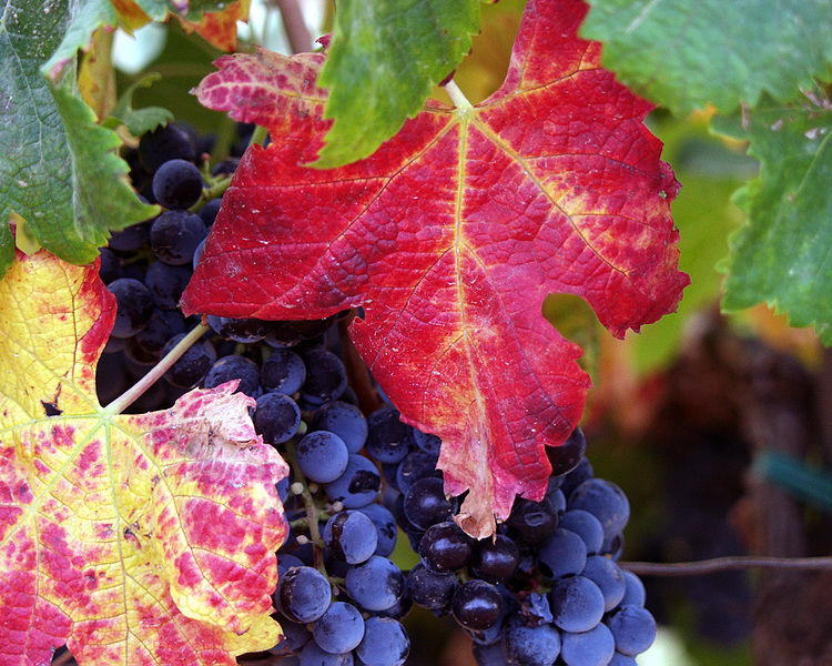 Racimos de uvas