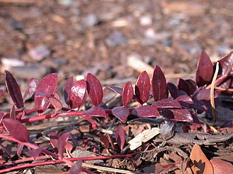 Vaccinium crassifolium - United States Botanic Garden's National Garden, Washington