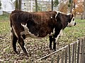 Vache Parc Croissant Vert Neuilly Marne 2.jpg