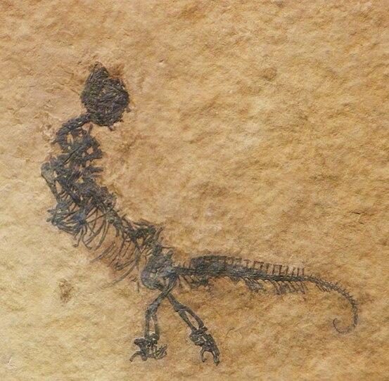 http://upload.wikimedia.org/wikipedia/commons/thumb/4/48/Vallesaurus_cenensis.JPG/553px-Vallesaurus_cenensis.JPG