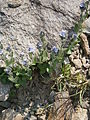 Veronica alpina004.JPG