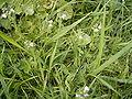 Veronica serpyllifolia plant.jpg