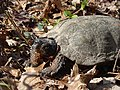 Very old adult Wood turtle Great Swamp National Wildlife Refuge (6762039909).jpg