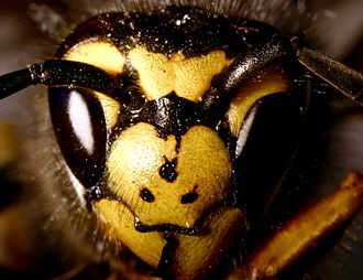 Vespula germanica - The three dots on the German wasp's face distinguish it from the common wasp.