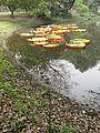Victoria amazonica - Indian Botanic Garden - Howrah 2012-01-29 1700.JPG