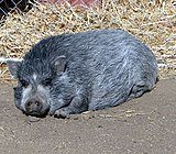 dark gray, hairy Vietnamese Pot Bellied Pig
