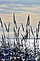 Views of reeds and the sea in the protected area of Femöre, Sweden.jpg