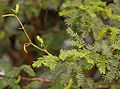 Vilaiti Keekar (Prosopis juliflora) leaves & spines W IMG 1151.jpg