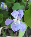 Viola adunca 2.jpg