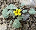Viola charlestonensis 6.jpg