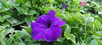 Violet FLower at Bakkhali.jpg