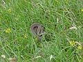 Vipera berus - Kreuzotter.jpg