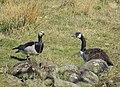 Vitkindad Gås Barnacle Goose (13642258424).jpg