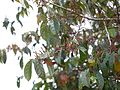Vittil (Tamil- விட்டில்) (15577635163).jpg