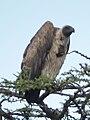 Vulture in Tanzania 2599 cropped Nevit.jpg