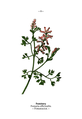 WWB-0026-008-Fumaria officinalis.png