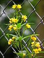 Waldgebiet Hanau gelb blühende Pflanze Juni 2012.JPG