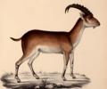 Walia ibex illustration.png