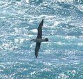 Wandering Albatross 02 (3449315039).jpg