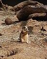 Washington DC Zoo - Praire dog 2.jpg