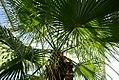 Washingtonia filifera 2zz.jpg
