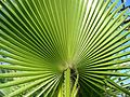 Washingtonia filifera frond.jpg