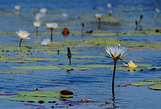 Water lilies in the Okavango Delta - Botswana - panoramio.jpg