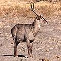 Waterbuck (Kobus ellipsiprymnus) in Mapungubwe National Park (36793271472).jpg