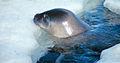 Weddell seal1b.jpg