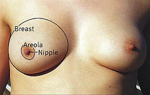 Breast - Morphology of human breasts with the areola, nipple, and inframammary fold
