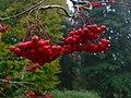 Wet Berries, Batsford Arboretum - geograph.org.uk - 1539022.jpg