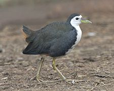 White-breasted Waterhen (Amaurornis phoenicurus ).jpg