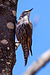 White-browed Treecreeper (8079654837).jpg