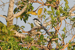 White-shouldered Triller.jpg