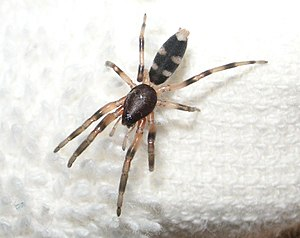 White-tailed spider.JPG