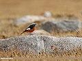 White-winged Redstart (Phoenicurus erythrogastrus) (37798955611).jpg