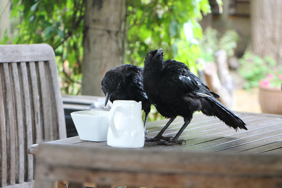 White-winged choughs eating cream