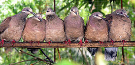 White Eared Brown Dove.jpg