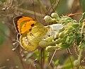 White Orange Tip (Ixias marianne)- Male at Hodal I IMG 1204.jpg
