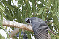 White bellied cuckoo shrike 3 (14993397125).jpg