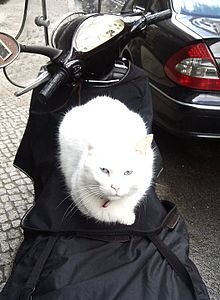 White cat on moped.jpg