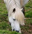 White horse (3629385325).jpg