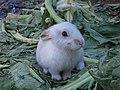 White rabbit puppy.JPG