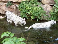 Weiße Tiger im Zoo von Singapur