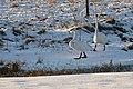 Whooper Swans (Cygnus cygnus), Burrafirth - geograph.org.uk - 1654579.jpg